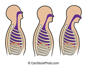 Human breathing diagram in vector - Human respitory system...