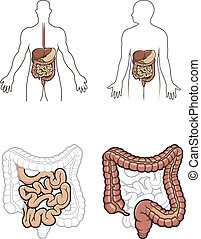 Human digestive system in vector - Diargram showing the...