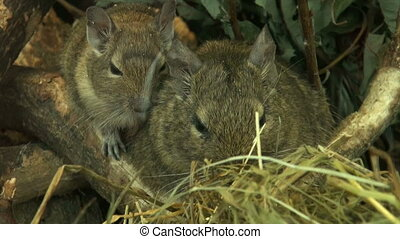 Family of field mice