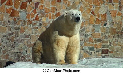 polar bear is heated on the sun