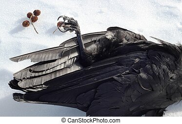 a dramatic dead raven (Corvus corax) laying on its back with a claw sticking up in the snow