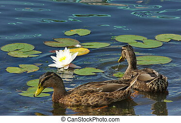 Ducks and lily -  A two duck swim among water lilies