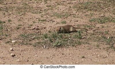 Ground Squirrel - Round tailed ground squirrel hunting for...