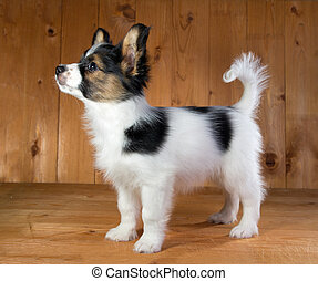 Papillon puppy - Portrait of a puppy Papillon