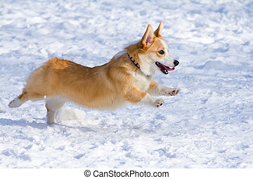 Pembroke Welsh Corgi - Dog breed Welsh Corgi Pembroke runs...