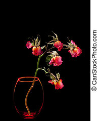 Dead roses in vase isolated on black background