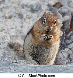Golden-mantled ground squirrel, spermophilus lateralis,...