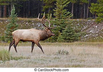 Bull elk, cervus canadensis, in Banff National Park,...