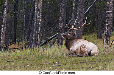 Bull elk resting in the grass, Banff National Park, Alberta,...