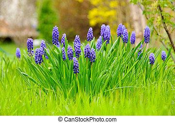 grape hyacinth 02