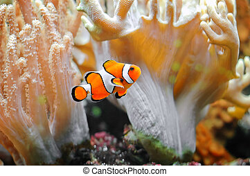 Clown - A small tropical fish - the clownfish