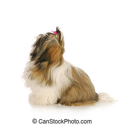 dog ready to jump up - dog ready to jump - shih tzu posed...