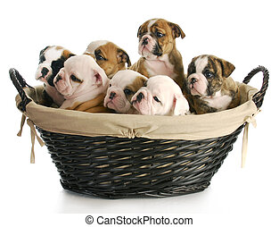 litter of puppies - wicker basket full of english bulldog...