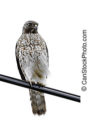 Red Shouldered Hawk isolated on whi