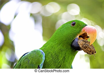 Green macaw portrait - Green Macaw parrot with food in his...