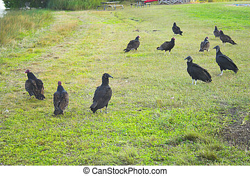Vultures walking in group on green grass in Florida park