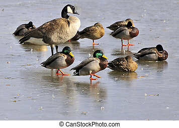 WaterBirds - Ducks and Goose standing on ice