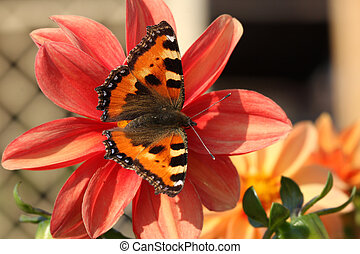 butterfly on red peony - motley butterfly is sitting on the...