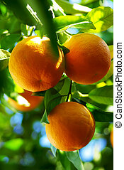 Oranges hanging on tree