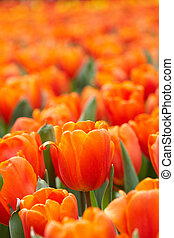 Orange Tulips in a garden under a sunny day