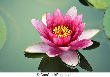 close-up lotus flower - blossom lotus flower in Japanese...