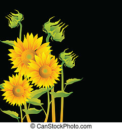 Beautiful yellow Sunflowers on black background