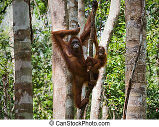 A female of the orangutan with a baby. - A female of the...
