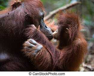 Kiss for mum - A female of the orangutan with a cub in a...