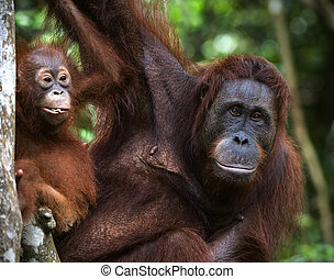 A female of the orangutan with a baby - A female of the...