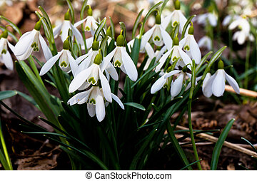 Snowdrops herald of spring as - The snowdrop is one of the...