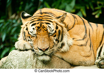 Snoozing tiger - A tiger sleeping in a zoo