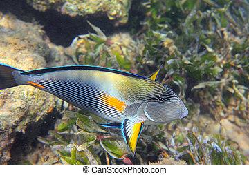 surgeon-fish close-up swiming under water among coral