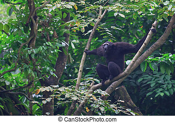 Howling Gibbon - A male Gibbon howling its' morning...