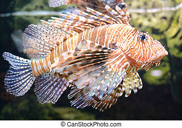 Lion Fish Pterois - A lion fish swimming along