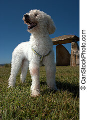 Happy poddle dog - A happy poddle dog on the grass