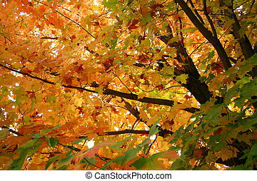 Fall, autumn trees - A maple tree full of colored leaves in...