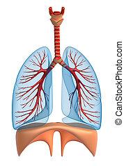 Sistema, pulmonar,  -, aislado, Pulmones