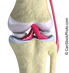 Knee joint closeup view Isolated on white