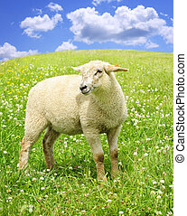 Cute young sheep - Cute happy sheep or lamb in green meadow