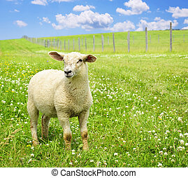 lindo, joven, sheep