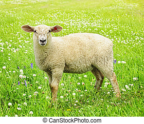 Cute young sheep - Cute funny sheep or lamb in green meadow