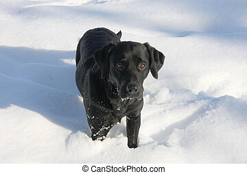 Black Labrador in the Winter Snow