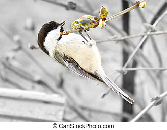 Black-capped Chickadee - This little bird is feeding off...