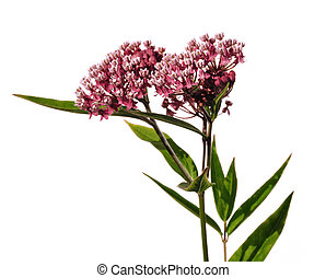 Swamp Milkweed Wildflower (Asclepias incarnata) Isolated on...
