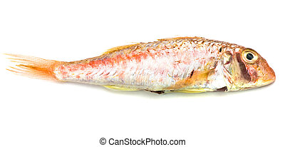 red mullet isolated