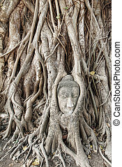Buddha head carved in a tree in Wat Mahathat temple in...