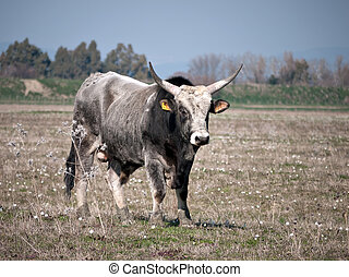 Little white bull - differential focus - Chianina bull...