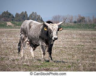 Little white bull - differential focus - Chianina bull...