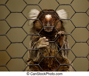 Marmoset grasping  wires of a cage.