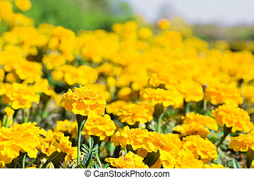 Yellow tagetes flowers at meadow in summertime